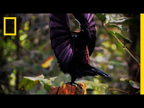 Birds of Paradise: Amazing Avian Evolution www.birds-parabise.com